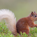 Red Squirrel Pauses by Peter Walkden