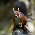 Red Squirrel   by Phil Scarlett
