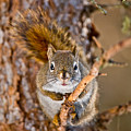 Red Squirrel Pictures 144 by World Wildlife Photography