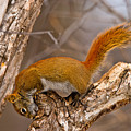 Red Squirrel Pictures 145 by World Wildlife Photography