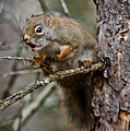 Red Squirrel Pictures 161 by World Wildlife Photography