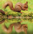 Red Squirrel Reflection by Trevor Clifford