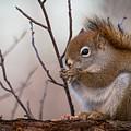 Red Squirrel - Sciurus Vulgaris by Alex Papp