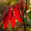 Red Sumac Leaves by Les Palenik