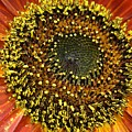 Red Sunflower Macro by Christiane Schulze Art And Photography