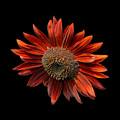 Red Sunflower On Black by Edward Sobuta