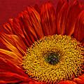 Red Sunflower Viii by Saija  Lehtonen