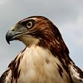 Red Tail Hawk 1 by David Dunham