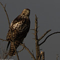 Red-tail Hawk 2 by Brent Bordelon