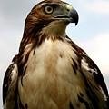 Red Tail Hawk 2 by David Dunham