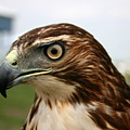 Red Tail Hawk 3 by David Dunham