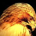 Red Tail Hawk  by Christine Zipps