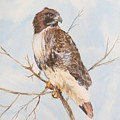 Red Tail Hawk by Diane Ziemski