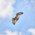 Red Tail Hawk In Blue Skies by Barbara Treaster