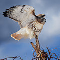 Red Tail Hawk Perch by Bill Wakeley