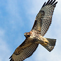 Red Tail Hawk by Randall Ingalls