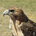 Red Tail Hawk by Rebecca Shupp