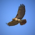 Red Tail Hawk by Robert Pearson