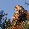 Red Tail In The Pines by Bill Driscoll