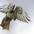 Red Tail Takeoff by Randall Ingalls
