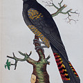 Red-tailed Black Cockatoo 1790 by Nodder