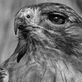 Red-tailed Hawk 2 by David Pine