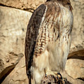 Red-tailed Hawk 4 by David Pine