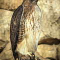 Red-tailed Hawk 5 by David Pine