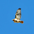 Red Tailed Hawk by Alan Lenk