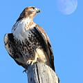 Red Tailed Hawk And Moon by Wingsdomain Art and Photography