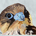 Red-tailed Hawk Portrait by Angeles M Pomata