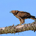 Red-tailed Hawk by Betty LaRue