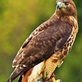 Red-tailed Hawk by Bill Barber