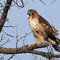 Red-tailed Hawk by Bob Zeller