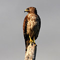 Red Tailed Hawk by David Lee Thompson