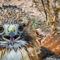 Red-tailed Hawk by David Pine