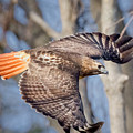 Red Tailed Hawk Flying by Bill Wakeley