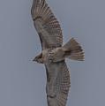 Red Tailed Hawk Flying by Paul Freidlund