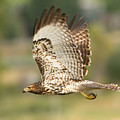 Red Tailed Hawk Hunting by Dennis Hammer