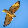 Red Tailed Hawk II by Ronald Raymond