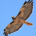 Red Tailed Hawk In Flight by Wingsdomain Art and Photography