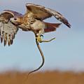 Red-tailed Hawk In Flight With Snake by Morris Finkelstein