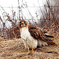 Red Tailed Hawk In The Field by Debbie Oppermann