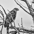 Red Tailed Hawk In Tree Bw by Rick Mosher