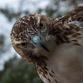 Red Tailed Hawk by Nancy Comley