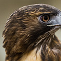 Red Tailed Hawk by Nathan Larson