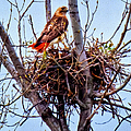 Red-tailed Hawk On Nest by Anna Louise