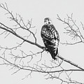 Red-tailed Hawk On Perch by Cary Leppert