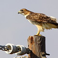 Red Tailed Hawk Perched by Robert Frederick