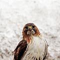 Red Tailed Hawk Portrait by Debbie Oppermann